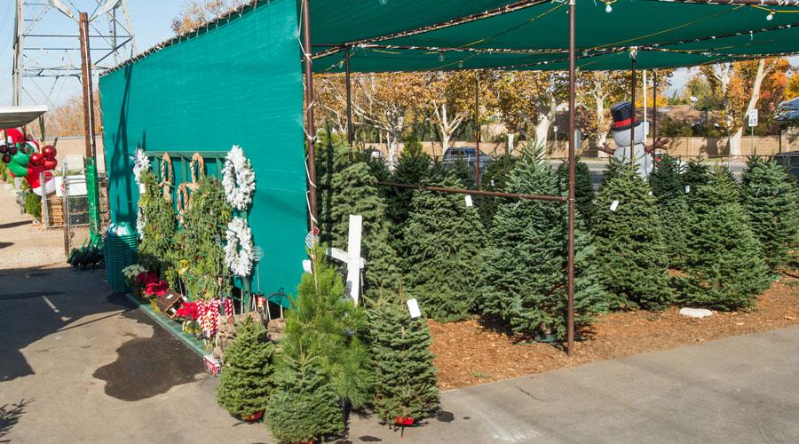 Frosty's Forest Christmas Tree Farm – Green Landscape Nursery SCV
